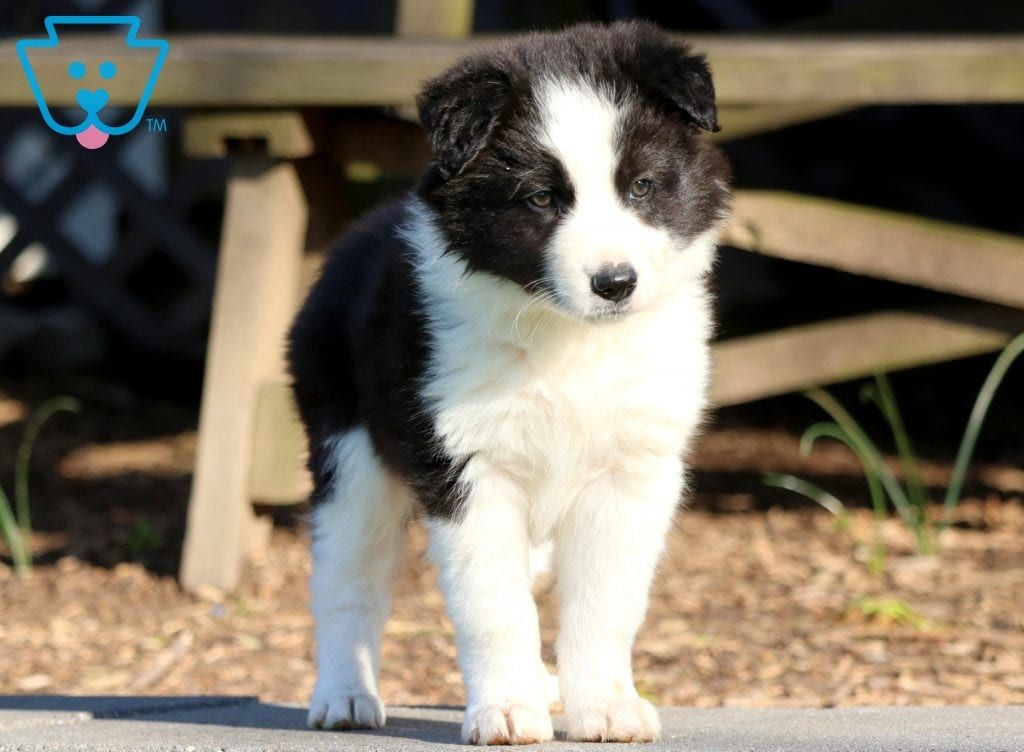 Domino Collie Puppies Border Collie Puppies Collie Puppies For