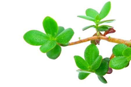 Although Pruning A Jade Plant Isn T Necessary Many People Like To Control Growth And Shape By Pruning Whether You Are Jade Plants Jade Plant Care Fake Plants