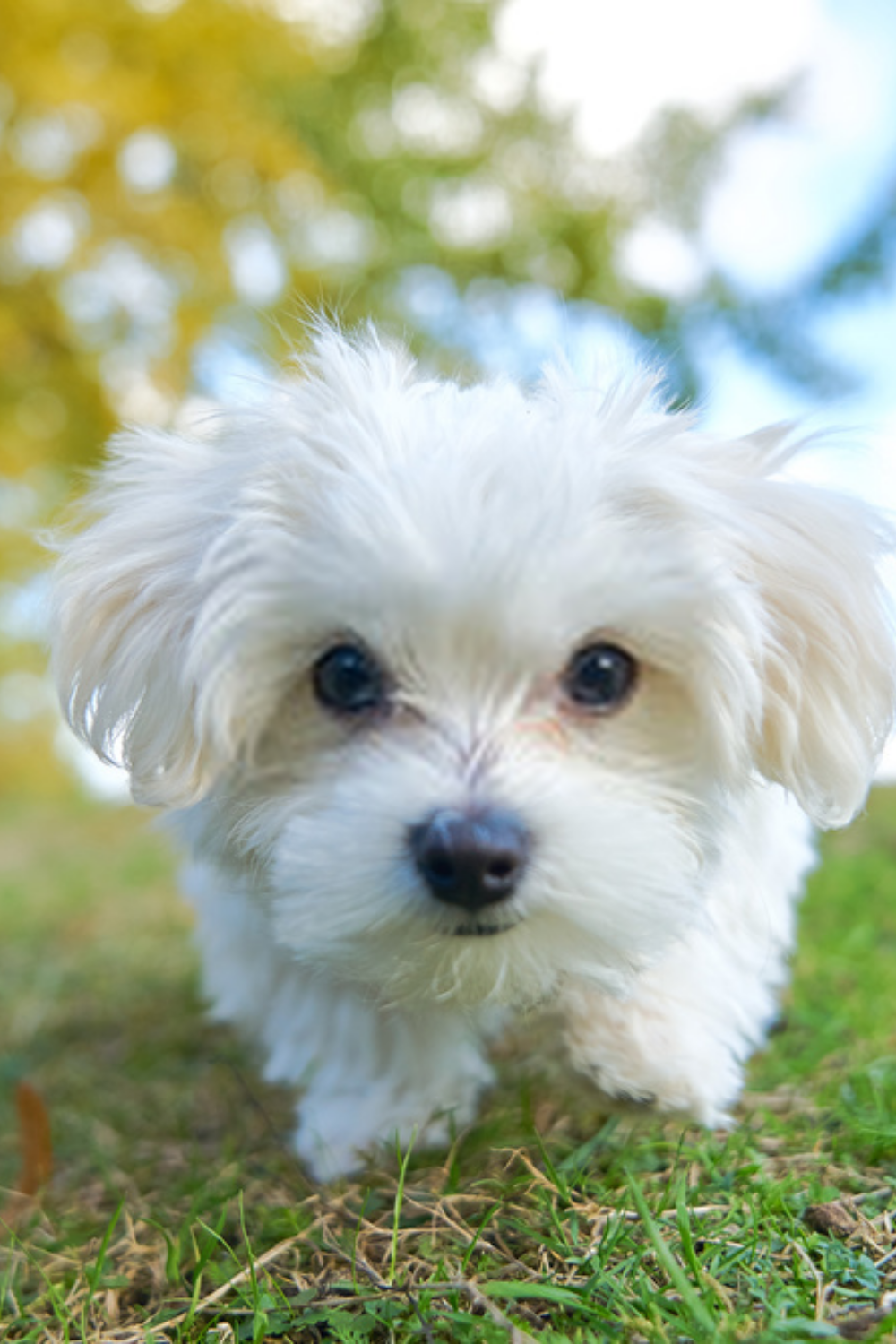 White Maltese Puppy Puppy Maltese The Maltese Is One Of The Oldest And Most Adorable Of The Toy Breeds In 2020 Maltese Puppy Teacup Puppies Maltese Puppies
