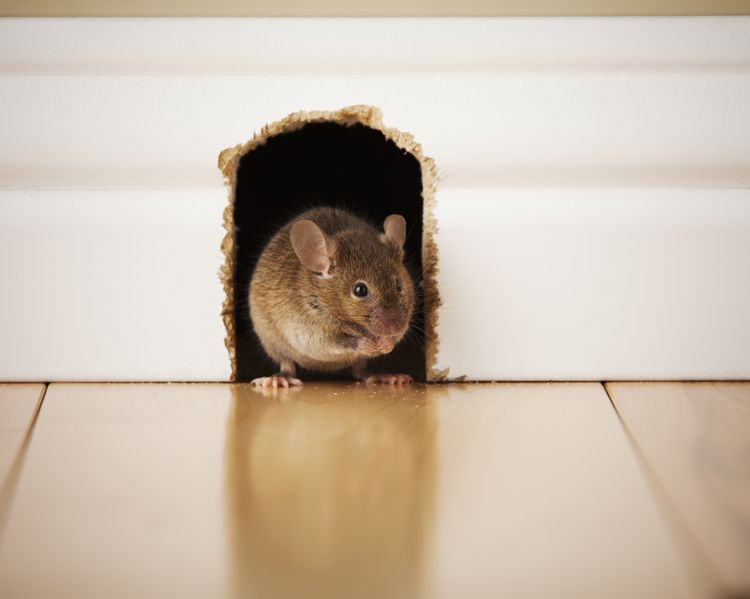 How To Keep Rodents Out Of Your Home Or Apartment Rodents Getting Rid Of Rats Rodent Repellent