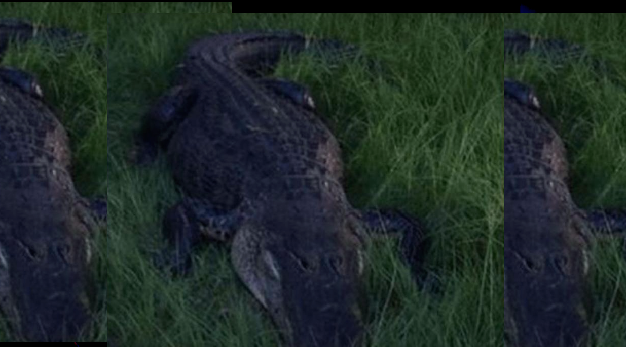 Another Alligator Attacks Man in Florida – 60 Miles From Disney World
