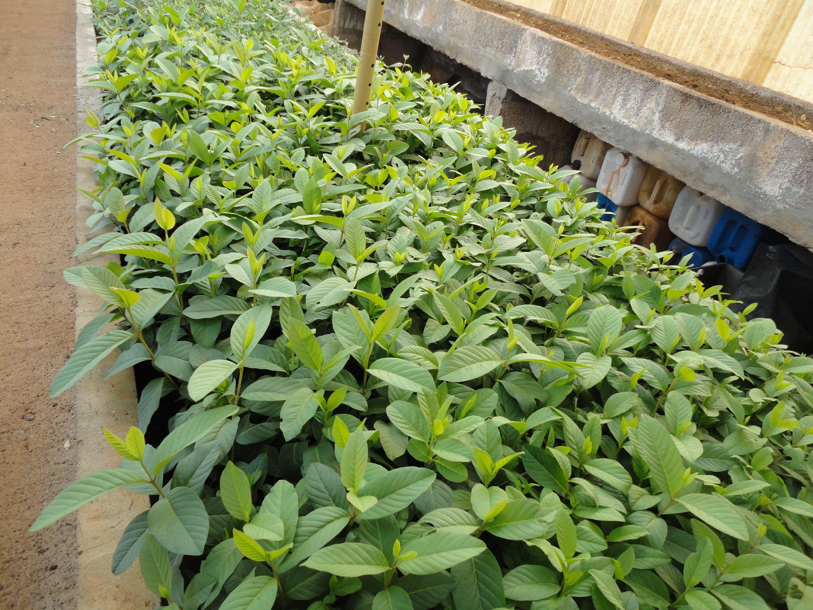 plantação de goaveiras