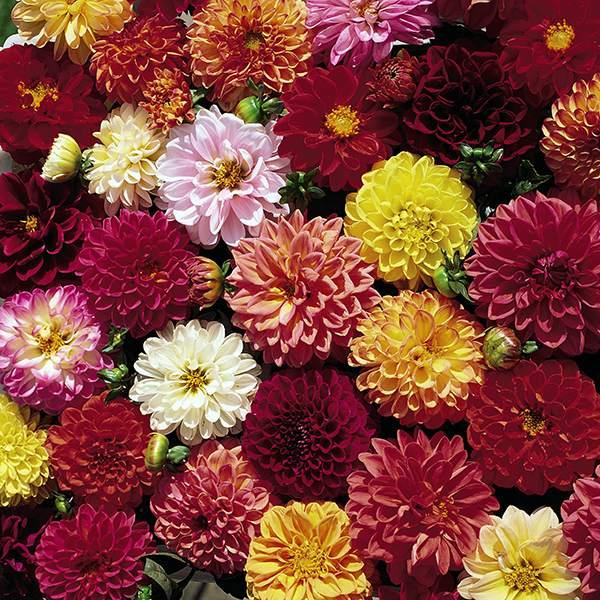 Dahlia Dahlias Seeds Huge Selection Of Annual Flower Seeds Flower Seeds Annual Flowers Dahlia
