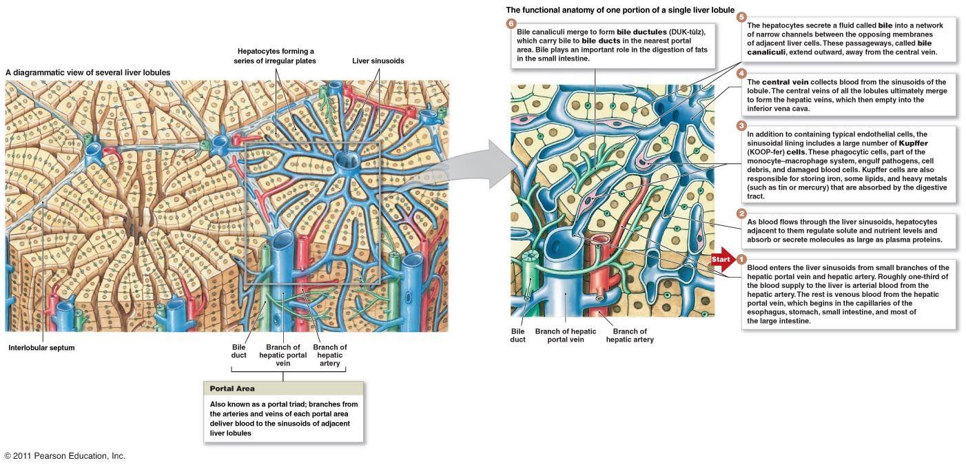 liverlobules.jpg (1402×678) | Hsf-structure | Pinterest