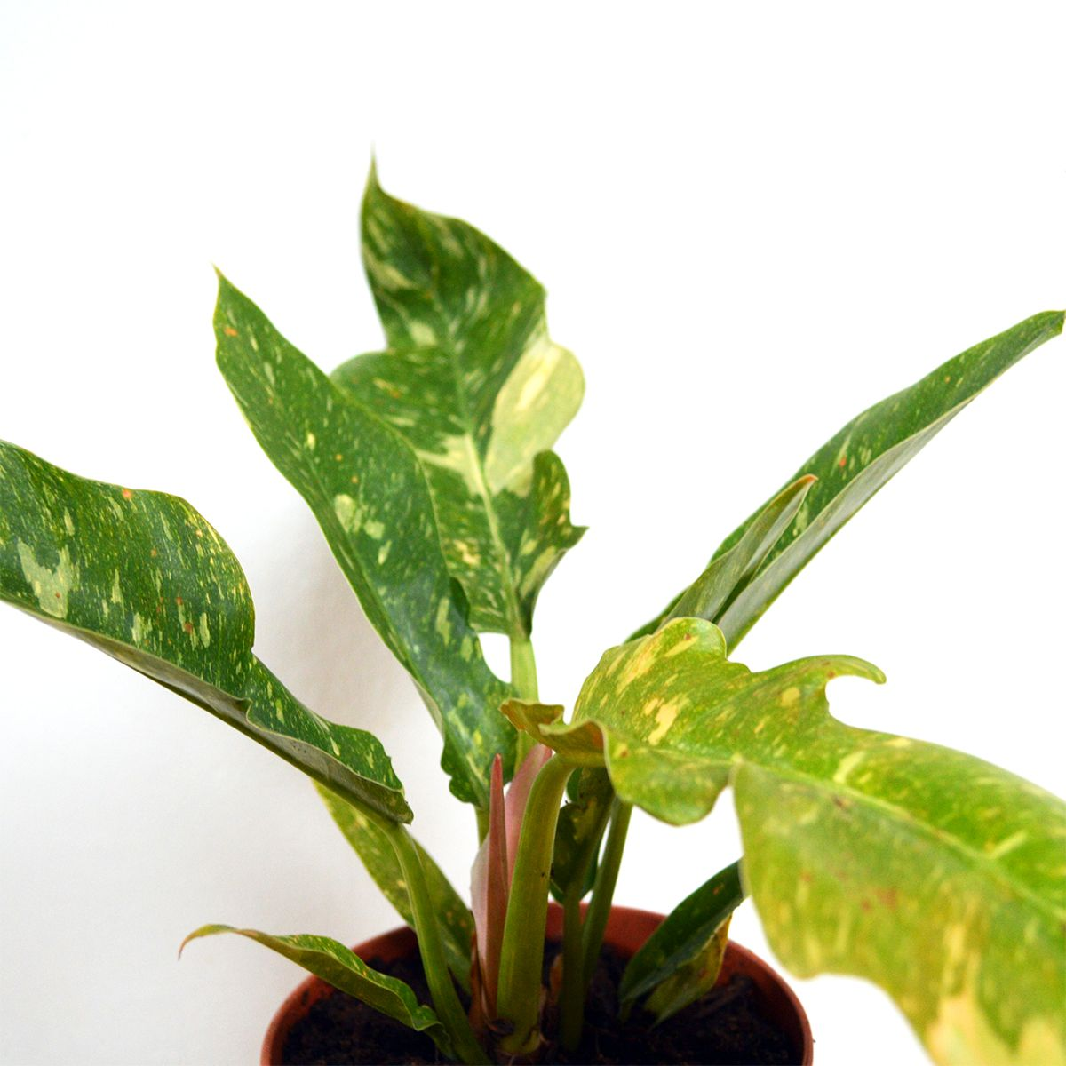 Variegated Tiger Tooth Philodendron Plants Variegated Plant Leaves