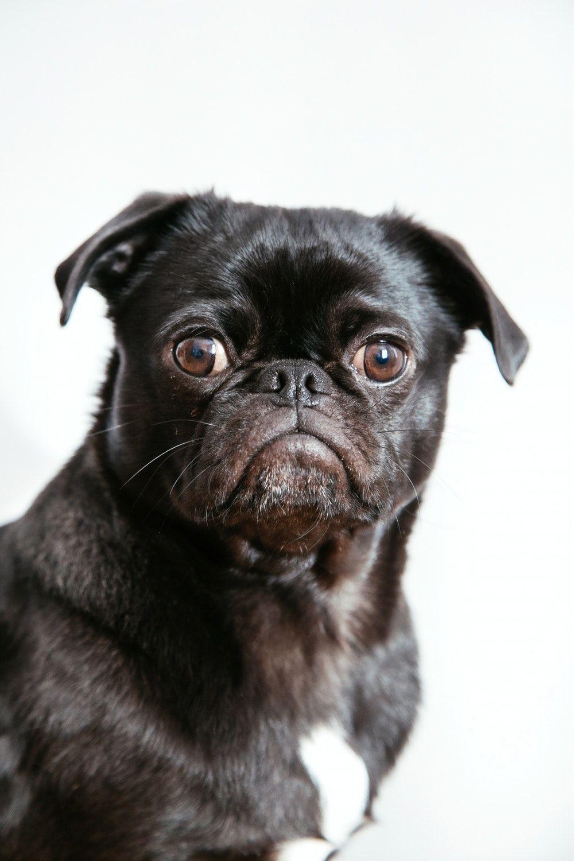 Pug Dog pug dog price pug dog for sale pugs puppies pug