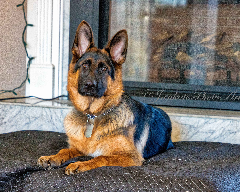 German Shepherd Dog Animal Photography 5 Month Old Puppy Pet