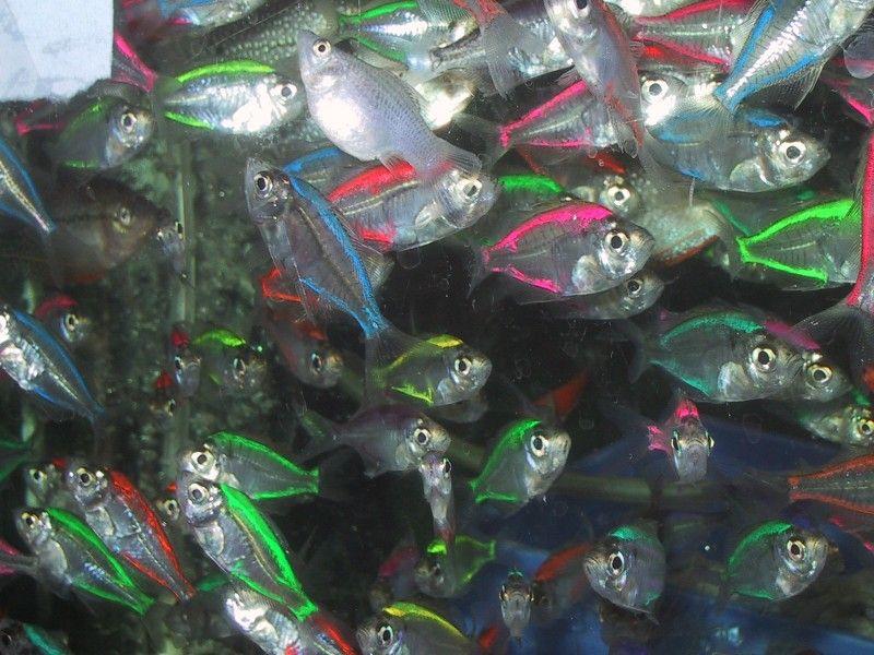 Neon Transparent Fish Organism Pinterest Neon Fish