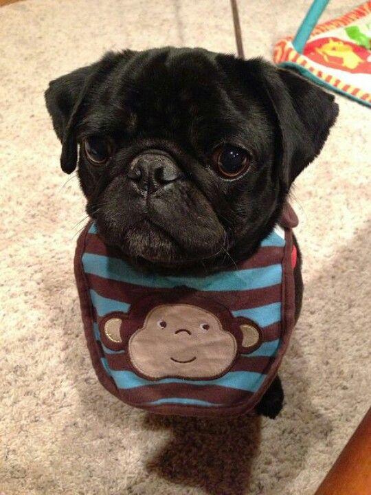 Adorable Black Pug Sporting His Monkey Baby Bib Lol Precious More
