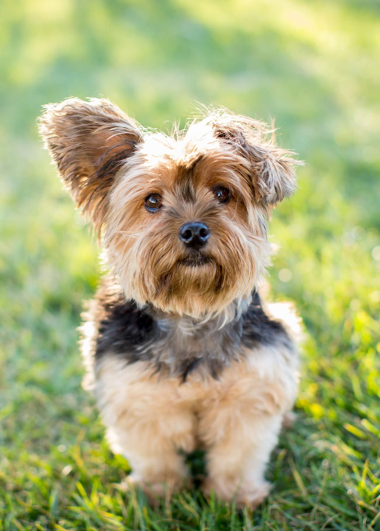 Toy Dog Breeds Which Tiny Pup Should You Bring Home