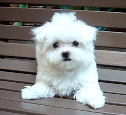 Pin By Dah Eh Kwon On Pets Teacup Puppies Maltese Maltese Puppy Puppies And Kitties