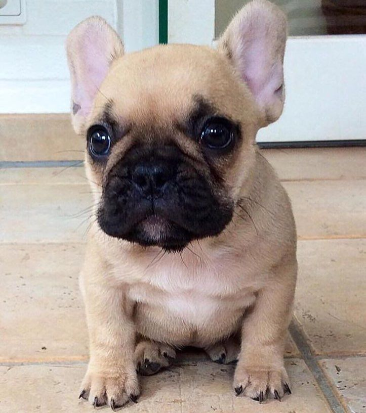 Baby Wrinkle Cuteness By The Frenchie That Is Nala By Petslyfe