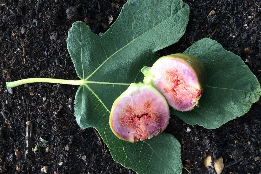 Grow figs in the uk richard jackson garden growing