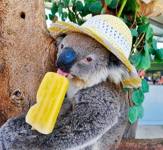 Because They Think A Tree Is An Appropriate Place To Eat A Popsicle Funny Koala Koala Bear Koala