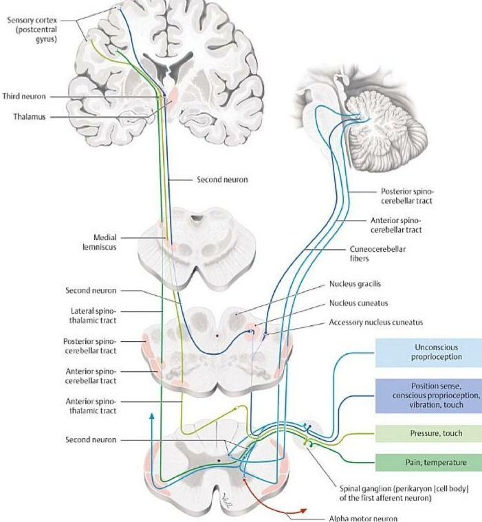 sensory pathways   neuro   Pinterest   Anatomía, Medicina y Neurología