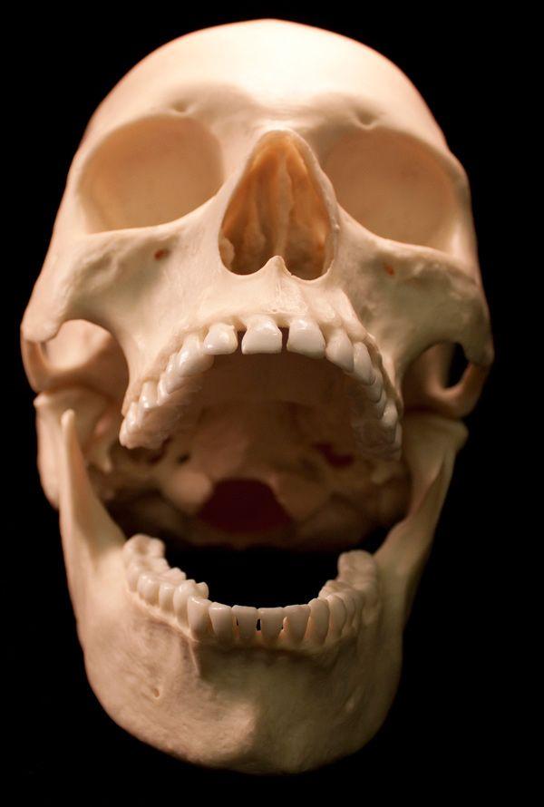 54 Free Human Skulls Images For Download Bones Antlers Shells