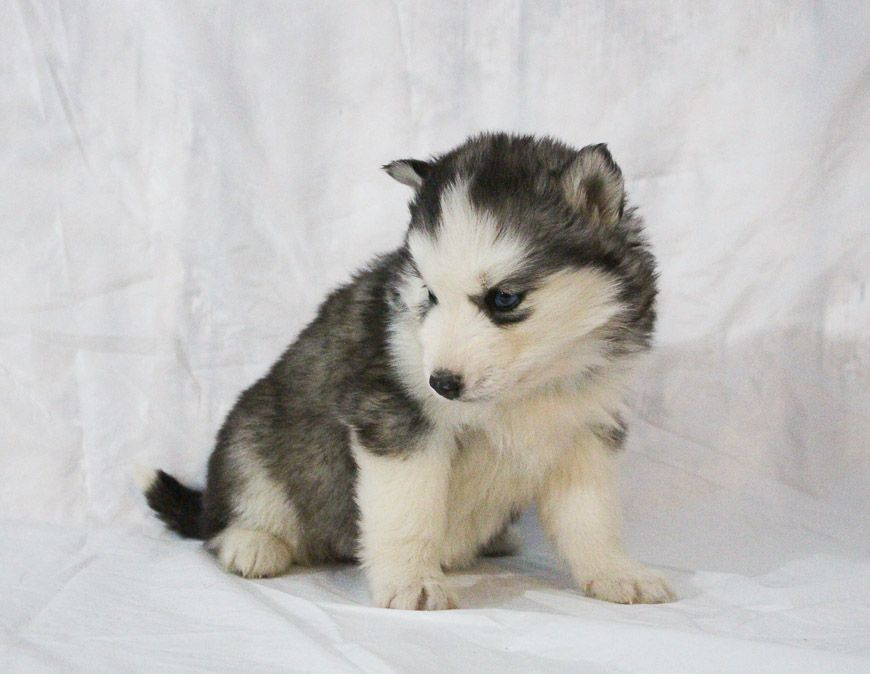 Miki A Female Iabca Siberian Husky Puppy For Sale In Nappanee