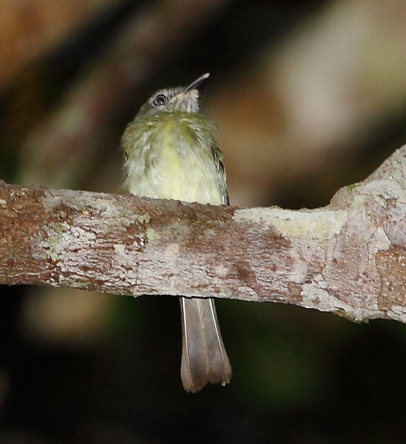 Maria-de-olho-branco (Hemitriccus zosterops)