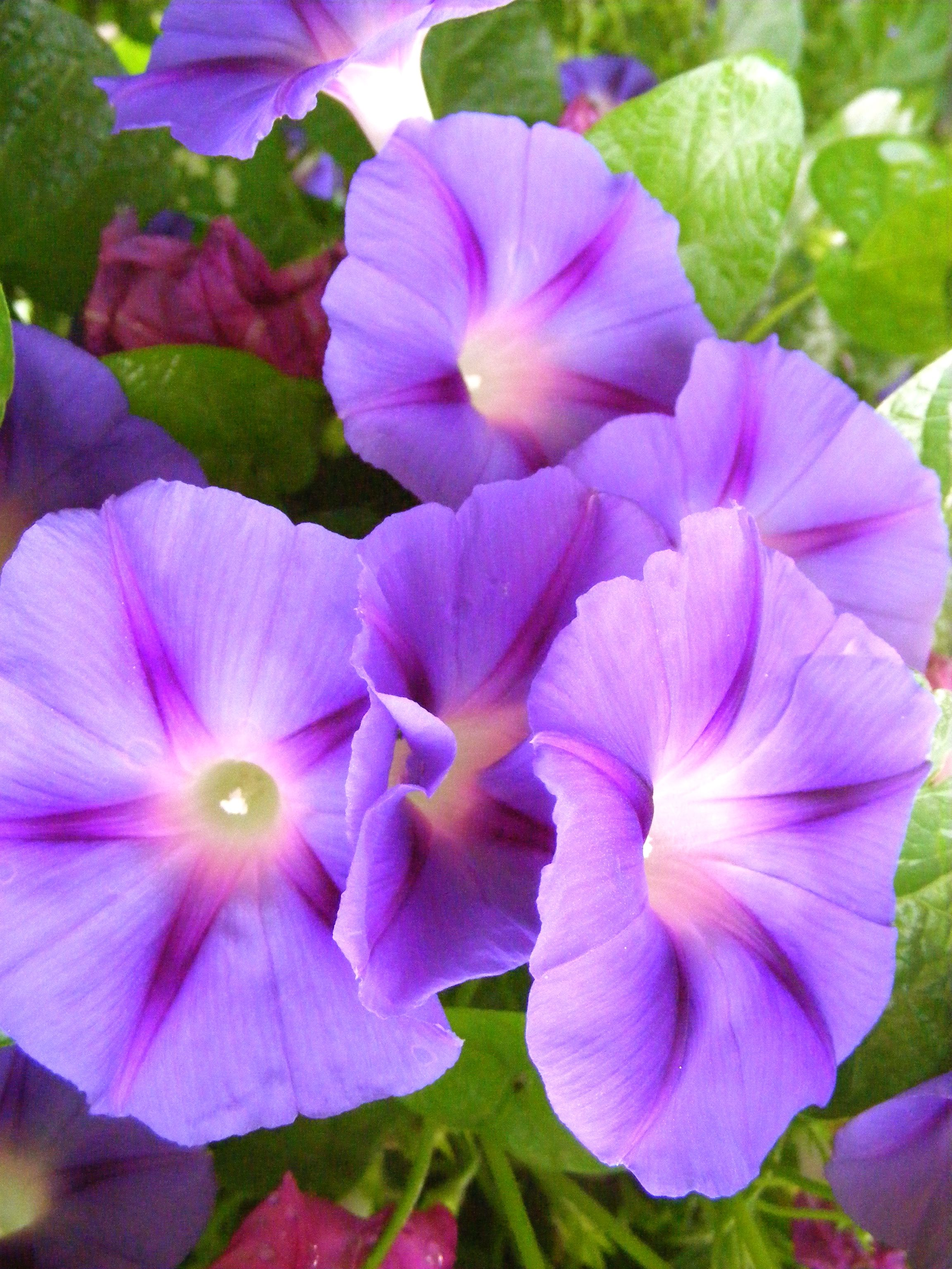 Can You Tell I Like Morning Glories Morning Glory Flowers Pretty Flowers Garden Vines