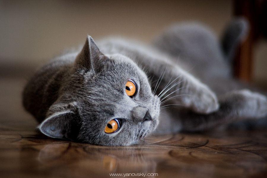 Orange Eyes Grey Cat Wallpaper Cat Wallpaper Cats