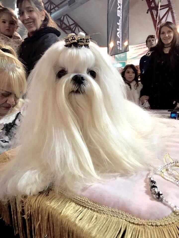 Pin By Marcia Willert On Aquawhite Bailey Martino And Sayia Maltese Puppy Teacup Puppies Maltese Maltese Dogs