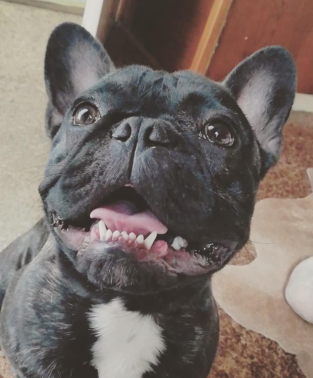 Show me your teeth 🐊 . . . . frenchies frenchie