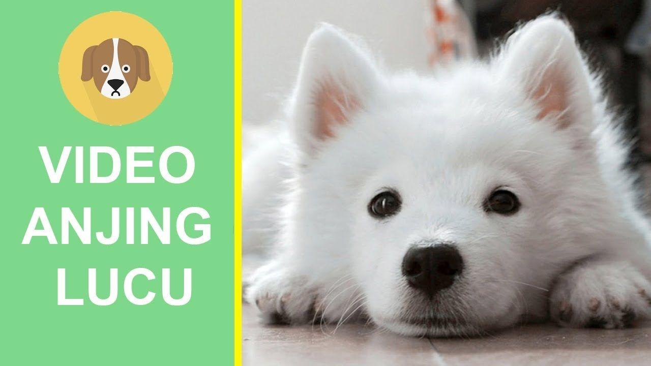 Video Anjing Lucu Menggongong