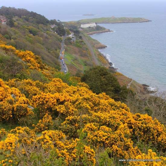 Yellow gorse or furze above vico road from killiney hill irish furze the yellow flower of the irish landscape irish american mom mightylinksfo Images