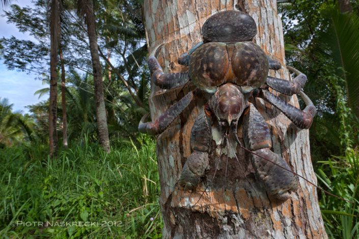 A Giant Among With Images Coconut Crab Crab Crustaceans
