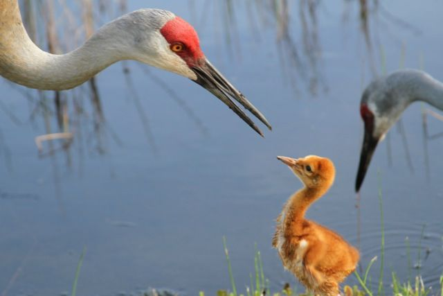 Sandhill Cranes and baby
