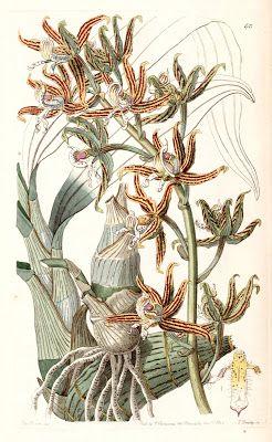 Clowesia, Clowesia amazonica, Mormode, Mormodes paraensis, Mormodes tapoayensis