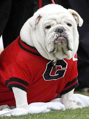 Uga Vii University Of Georgia S Former Mascot Georgia Bulldog