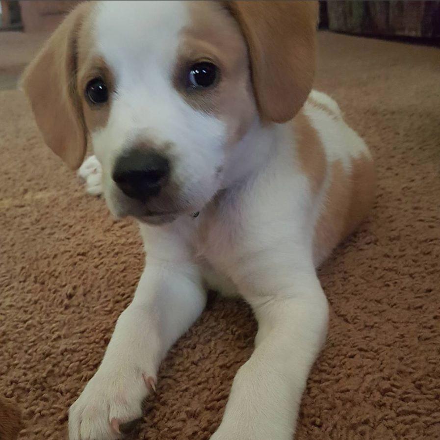 Tucker the Beagle Labrador mix Labrador mix, Dog mixes
