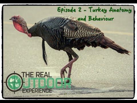 Episode 2 Wild Turkey Anatomy Behaviour The Real Outdoor