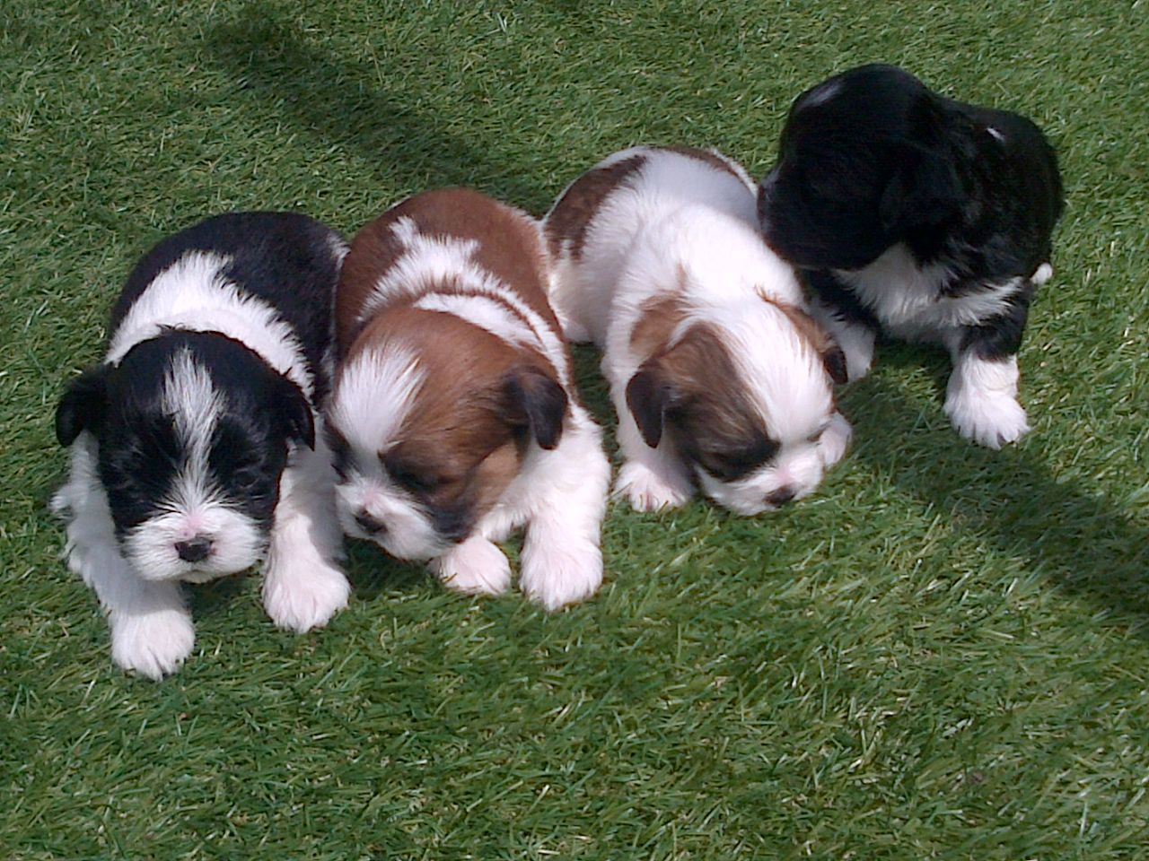 Lhasa Apso Puppies For Sale Lhasa Apso Puppies Lhasa Apso Cute
