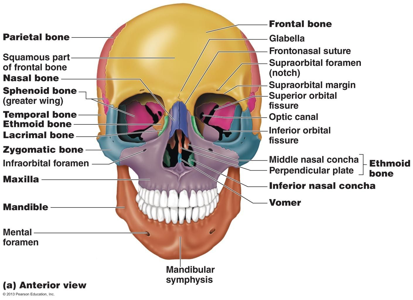 Human Anatomy Pearson Blank Skull Human Skull Anatomy Diagram Anatomy Human Skull Human Anatomy Skull Anatomy Axial Skeleton Human Skull Anatomy