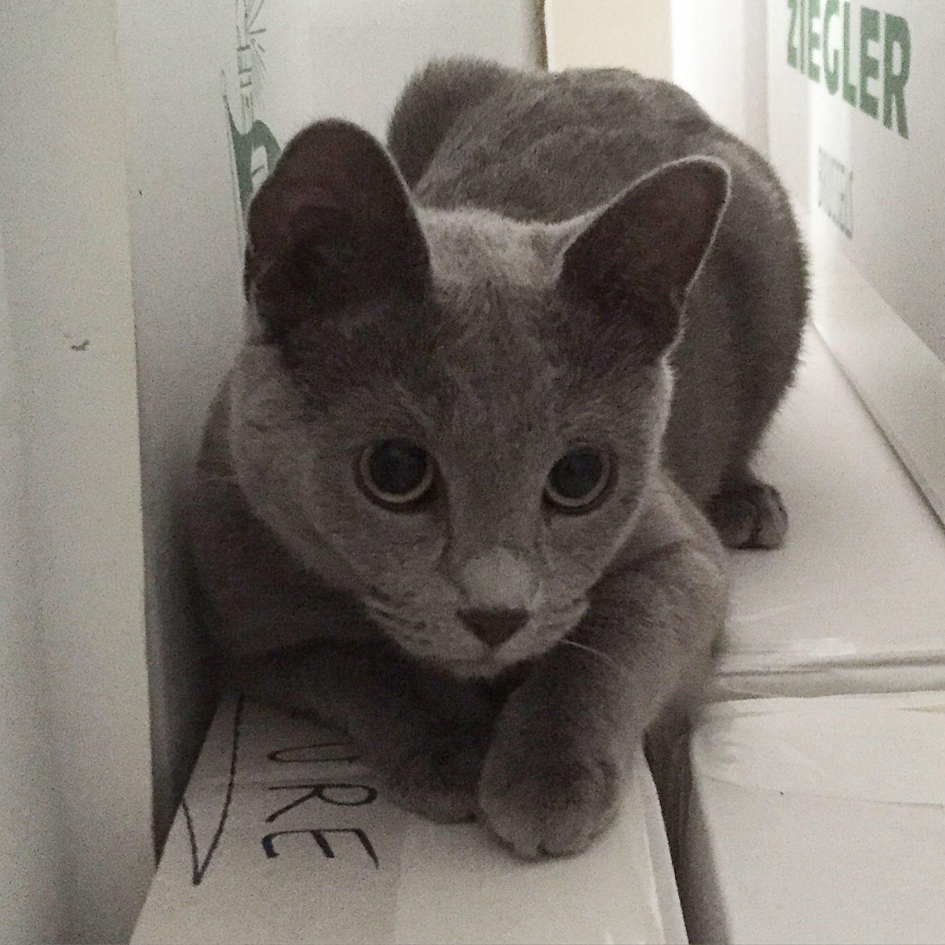 Pin By Edward De Sloover On My Russian Blue Cat Russian Blue Cat