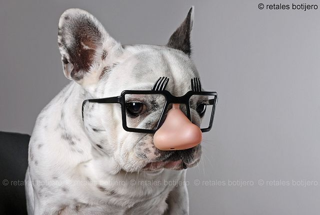 funny frenchie
