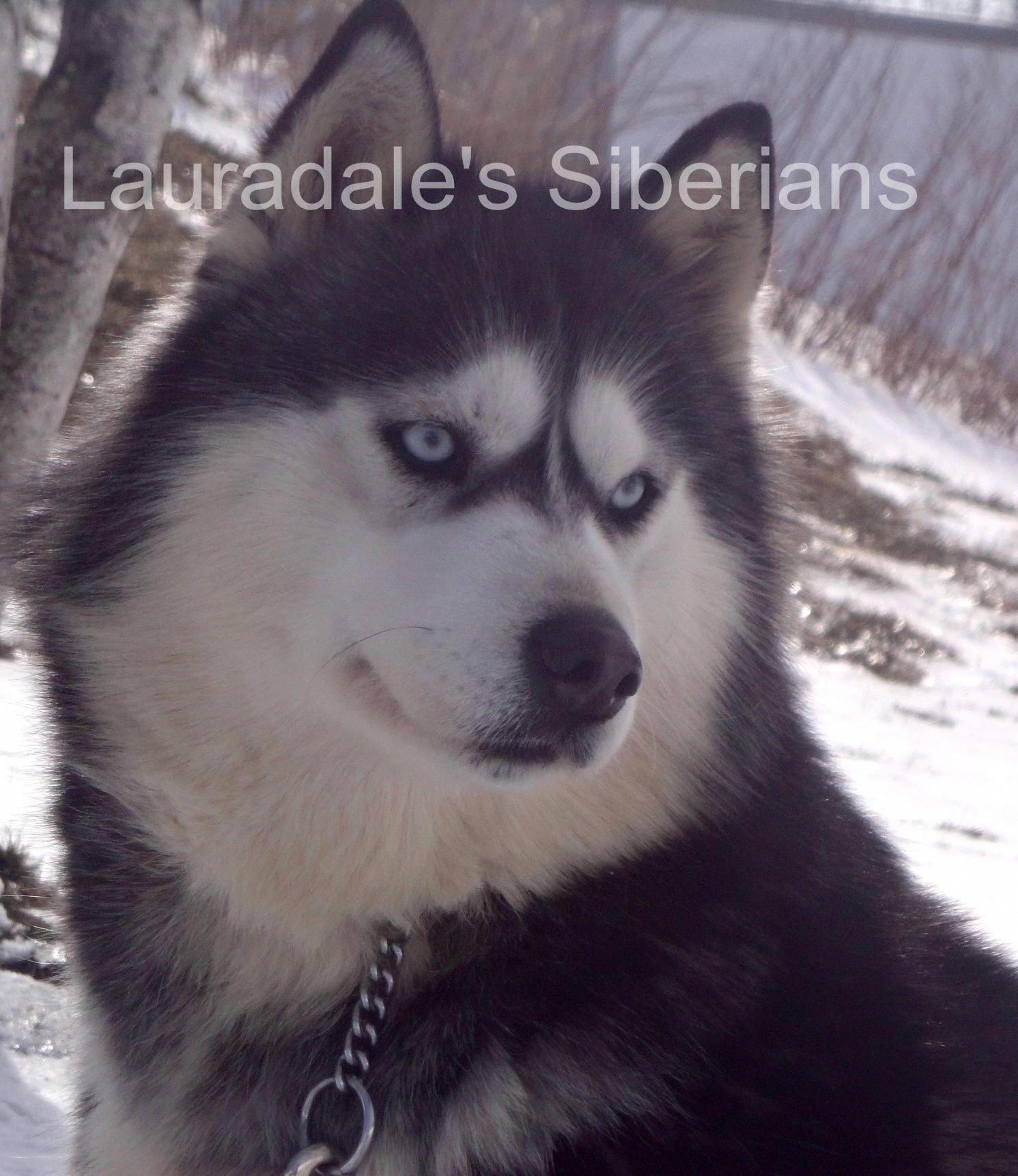 Siberian Husky Puppy Siberian Husky Siberian Husky Puppies