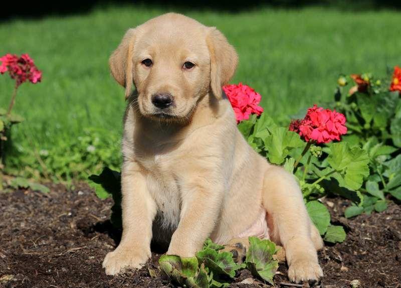 Marabell Golden Labrador Goldador Puppy For Sale Keystone Puppies Labrador Retriever Labrador Puppy Labrador Dog