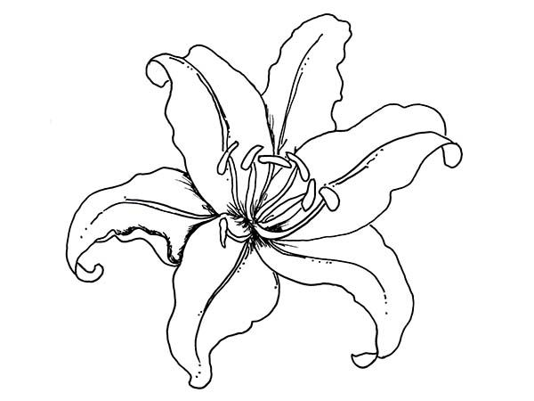 Flowers Lily Flower Coloring Page Flower Drawing Flower