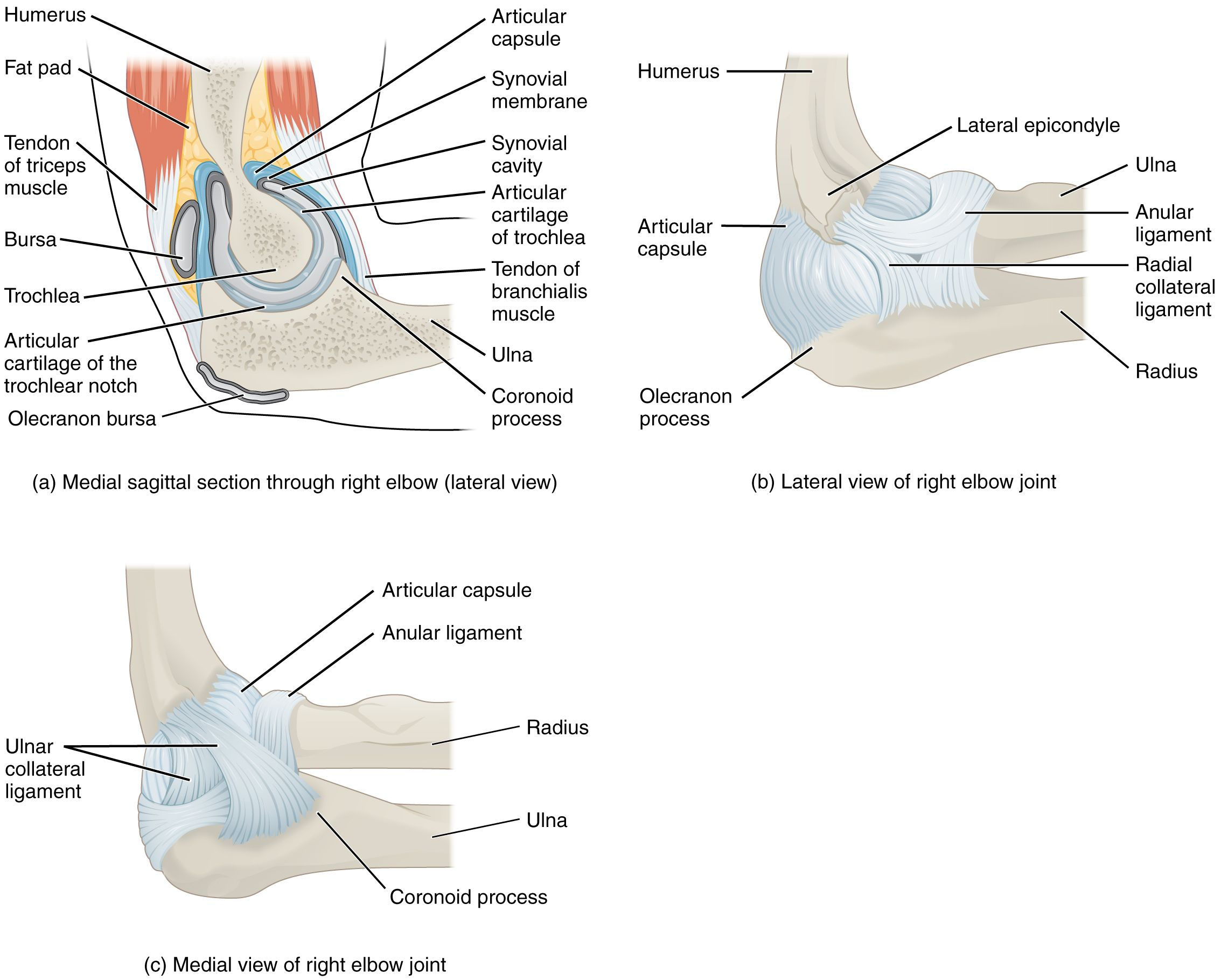Image result for images joint capsule in left elbow ...
