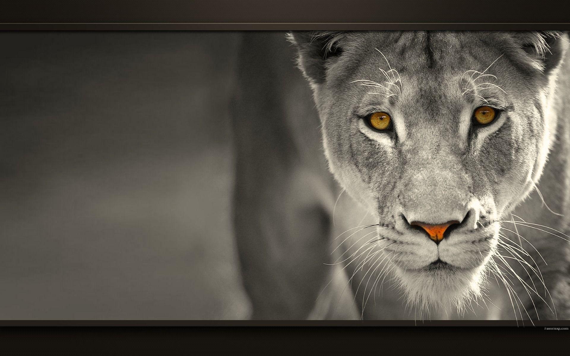 Fonds D Ecran Lions Wallpapers En Noir Et Blanc Hd Pour Pc Fond Ecran Noir Et Blanc Lion