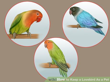 Keep A Lovebird As A Pet With Images Pets Pet Steps Love Birds