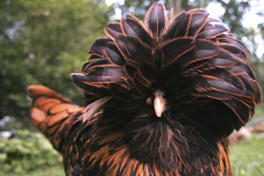 Gorgeous golden polish chicken- I need one this color!