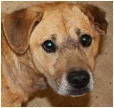 Adopt Phoebe on lab mix, dog, Dogs
