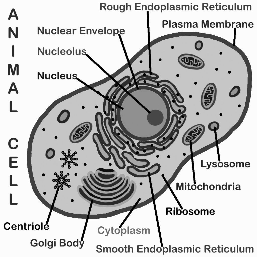 animal cell coloring key biology corner