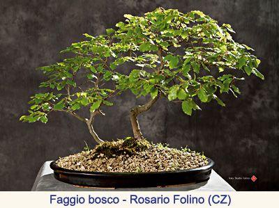 scheda bonsai acero