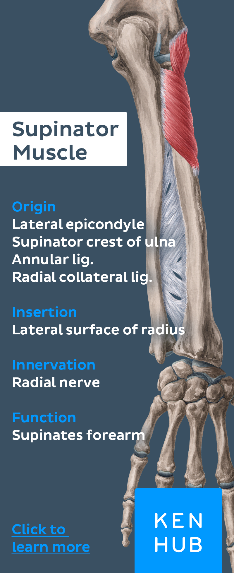 The Supinator Muscle Supinates But Still Belongs To The Group Of