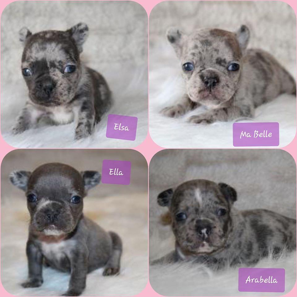 Blue Merle Frenchies In 2020 Merle French Bulldog French Bulldog Puppies Really Cute Puppies